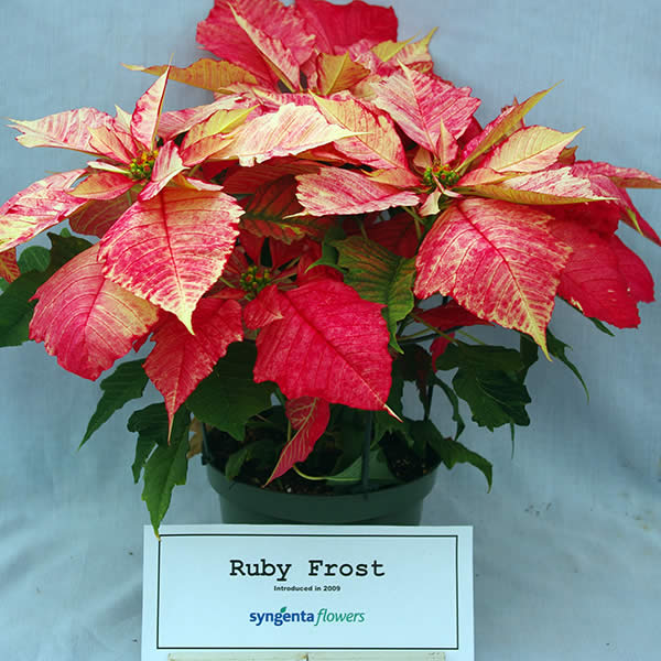 Ruby Frost