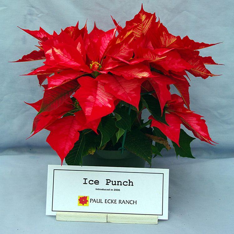 Ice Punch